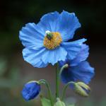 ヒマラヤの青いケシ