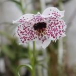 高山植物の宝庫 ヒマラヤ&中国の高山植物