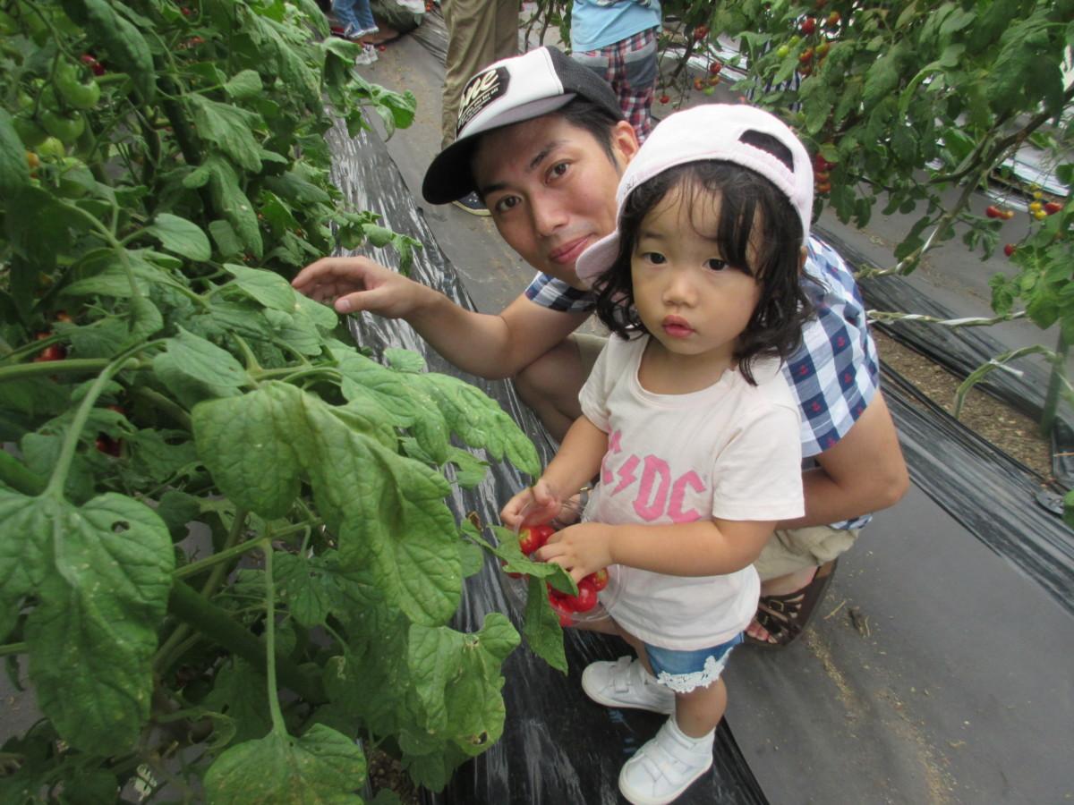 トマト収穫体験2