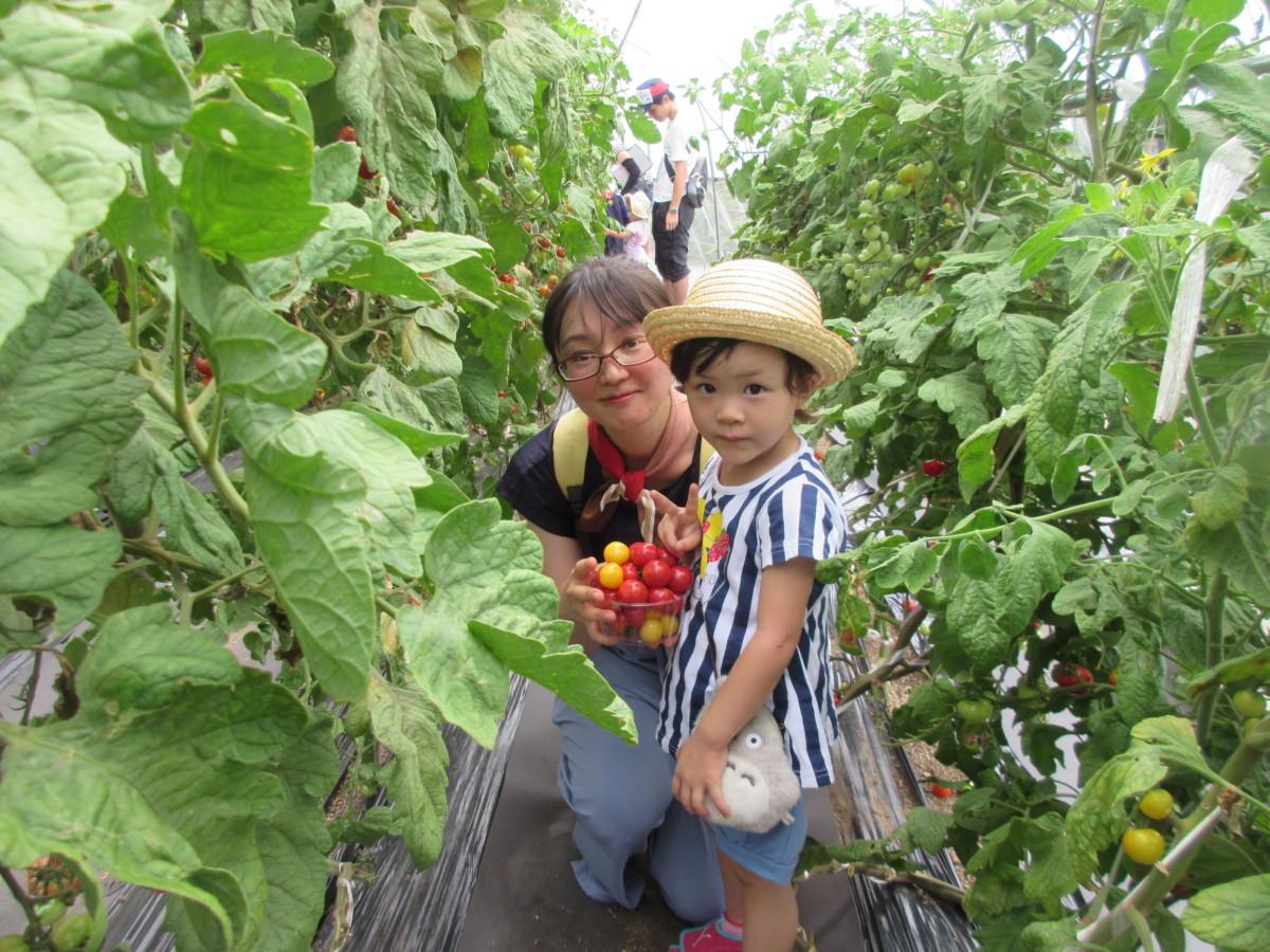 トマト収穫体験4