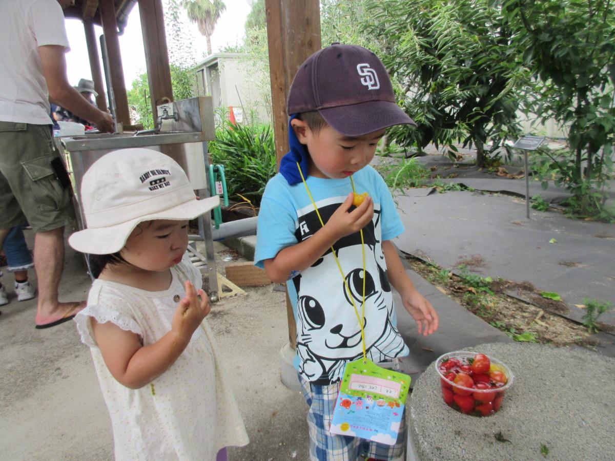 トマト収穫体験5