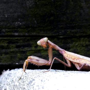 昆虫教室カマキリ