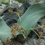 たくましく育つアフリカの乾燥地植物